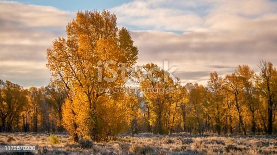 In Grand Teton National Park, cottonwood trees with fall foliage glow with backlight during a September sunrise. The dawn sky has soft clouds.