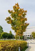 Beautiful autumn landscape with Quercus rubra red oak on Stadium Krasnodar background in the city park. Public landscape Galitsky park'  for recreation. Krasnodar, Russia - October 27, 2020