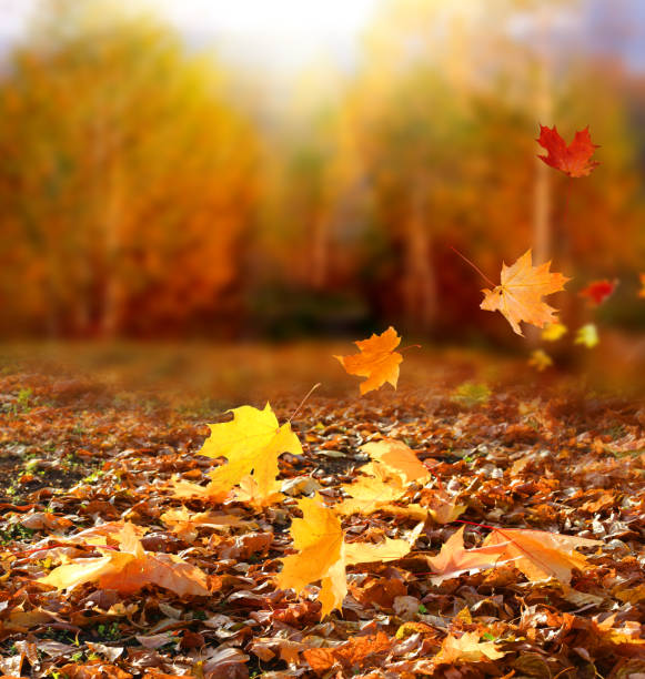 beautiful autumn landscape with yellow trees and sun. colorful foliage in the park. falling  leaves natural background .autumn season concept - deciduous stock pictures, royalty-free photos & images
