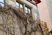 Beautiful autumn leaves of wild grapes on the walls of the house.