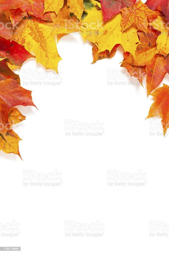 Beautiful autumn maple leaves royalty-free stock photo