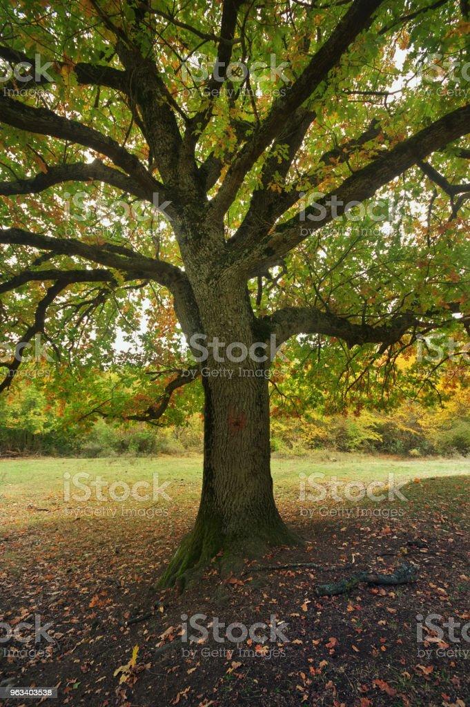 vackra höst ek trädgrenar. Sammansättningen av naturen - Royaltyfri Beskrivande färg Bildbanksbilder