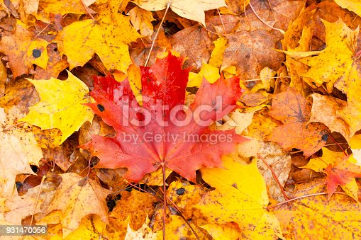 istock Beautiful autumn park with yellow maple leaves. 931470056