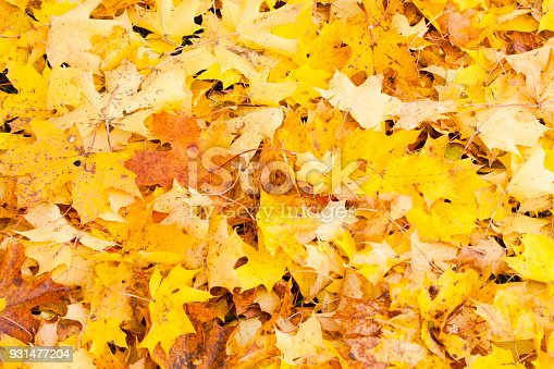 istock Beautiful autumn park with yellow maple leaves. 931477204