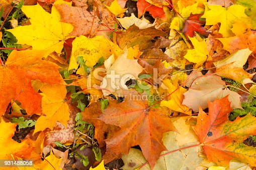 istock Beautiful autumn park with yellow maple leaves. 931488058