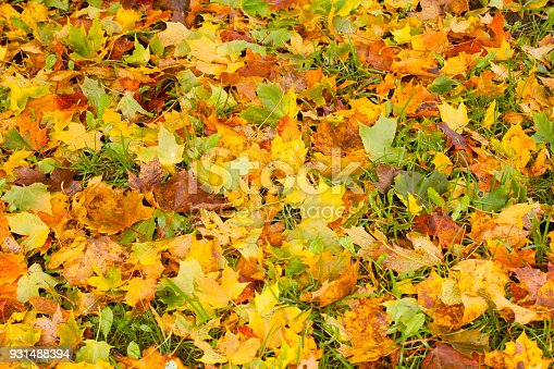 istock Beautiful autumn park with yellow maple leaves. 931488394