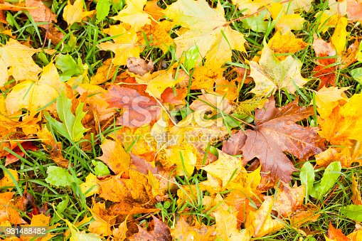 istock Beautiful autumn park with yellow maple leaves. 931488482