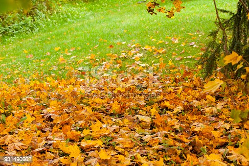 istock Beautiful autumn park with yellow maple leaves. 931490662