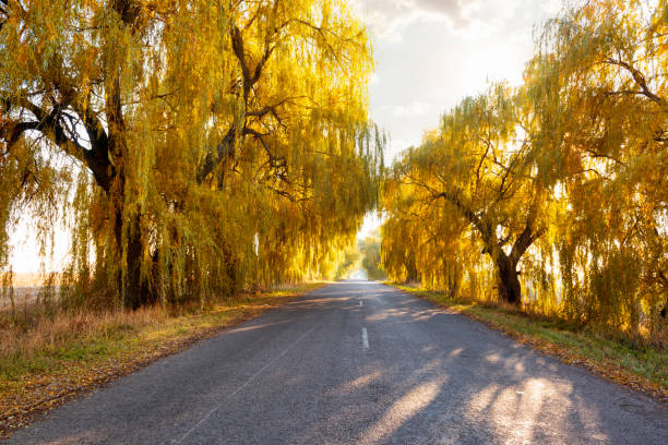 Beautiful autumn scene with a road and willow trees with golden-colored leaves illuminated by evening sun