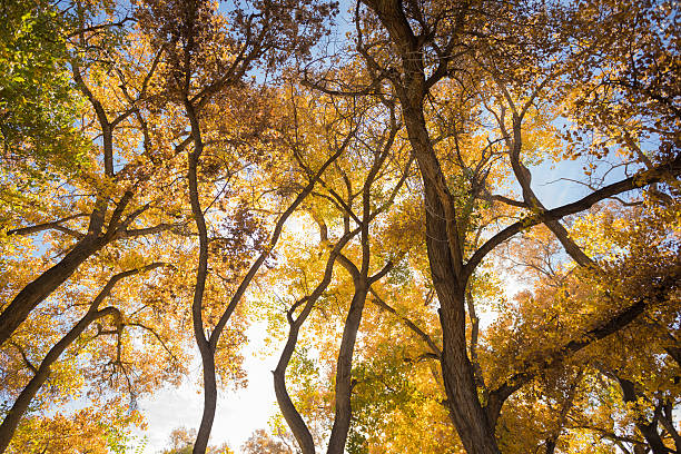 beautiful autumn tree gorgeous cottonwood trees in golden autumn color create abstract nature line and pattern.  horizontal wide angle composition.  alameda bosque.  albuquerque, new mexico. cottonwood tree stock pictures, royalty-free photos & images