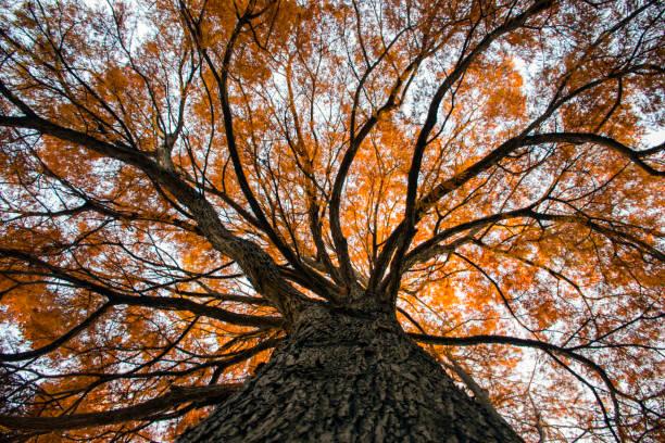 Hermoso árbol de otoño, visto desde abajo mirando hacia arriba - foto de stock