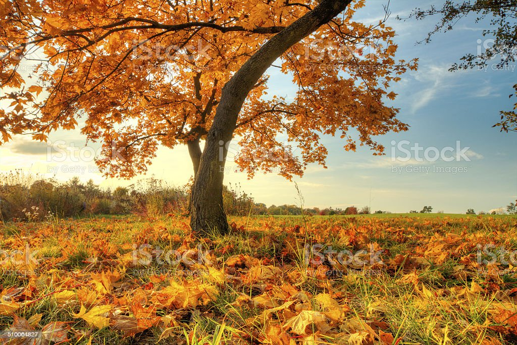 Beautiful autumn tree with fallen dry leaves stock photo