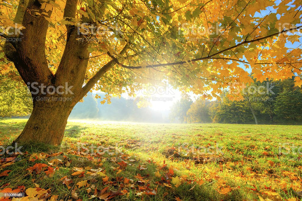 Beautiful Autumn Tree With Fallen Dry Leaves Stock Photo ...