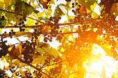 Beautiful autumn wallpaper background of golden red and yellow foliage of vine. Leaf and bunch of grape in backlight of fall sun against sky.