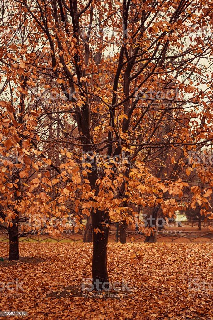 Beautiful autumnal tree with orange leaves, rainy day