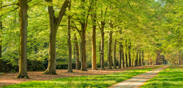 Beautiful Avenue with treelined footpath in springtime sunlight stock photo