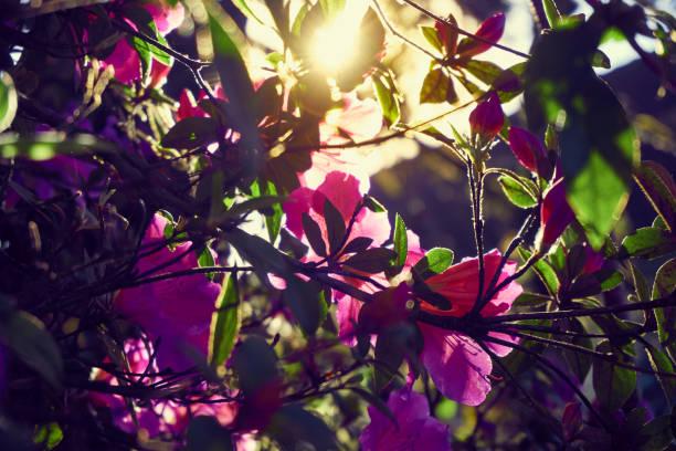 Schöne Azalea Blumen gegen Licht. – Foto