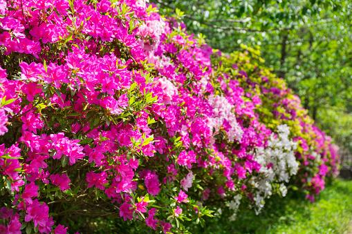 Beautiful azalea flowers