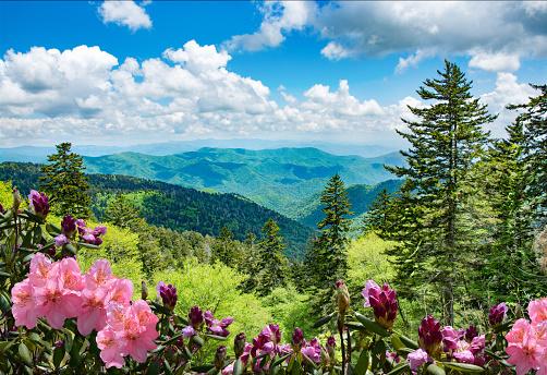 Beautiful azaleas blooming in North Carolina mountains.