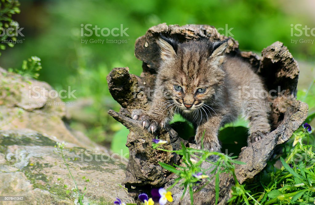 Beautiful baby Bobcat coming out of a hollow log. stock photo