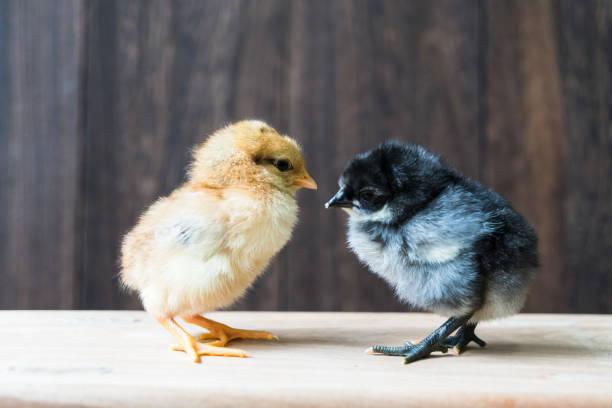 Schöne Baby Huhn – Foto