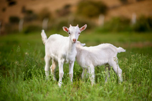 Beautiful Baby Goats
