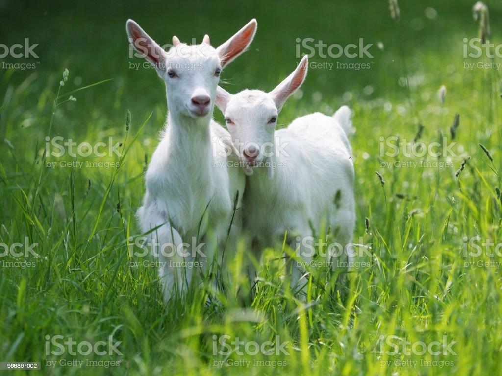 Beau bébé chèvre - Photo