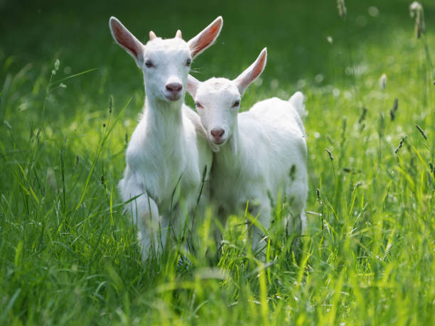 Beautiful Baby Goats stock photo