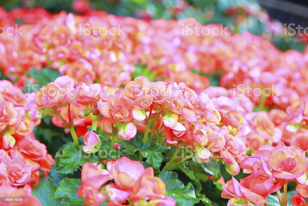 Beautiful background of flowers big begonias stock photo