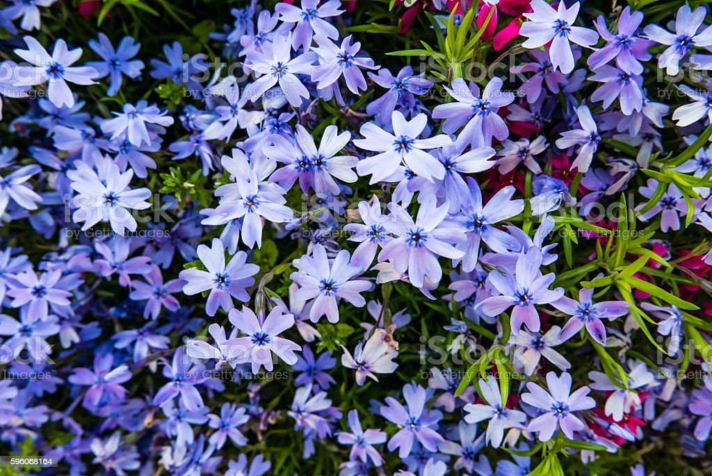Beautiful background of small phloxes flowers stock photo