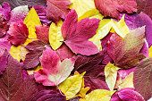 Beautiful background of various bright autumn red, pink and yellow leaves. Fall mix texture. Hello autumn