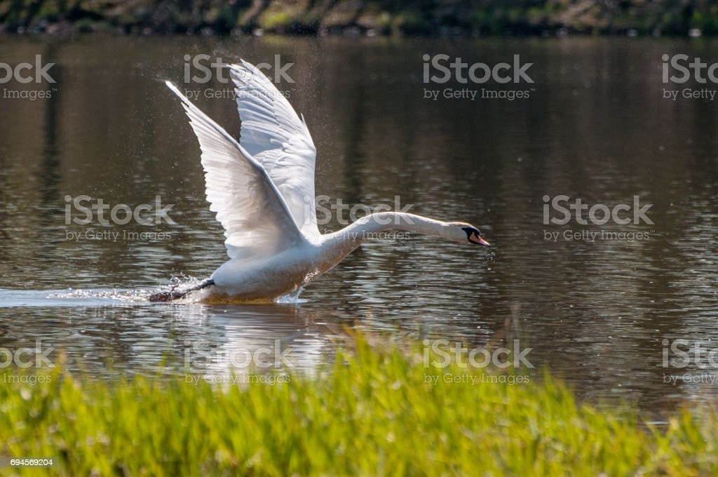 Beautiful background with a powerful swan's take off stock photo