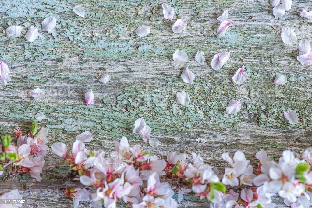 Fundo bonito com florescência galho de sakura e pétalas na vindima backgorund em madeira - foto de acervo