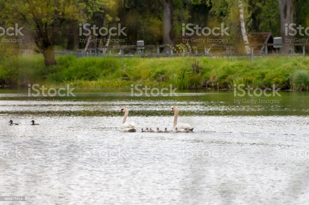 Beautiful background with the father-swan and his children swimming in the lake on the sunny evening stock photo