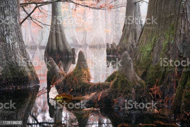 Photo of Beautiful bald cypress trees in autumn rusty-colored foliage and Nyssa aquatica water tupelo, their reflections in lake water. Chicot State Park, Louisiana, US