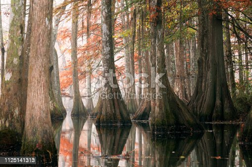 Beautiful bald cypress trees in autumn rusty-colored foliage and Nyssa aquatica water tupelo, their reflections in lake water. Chicot State Park, Louisiana, US
