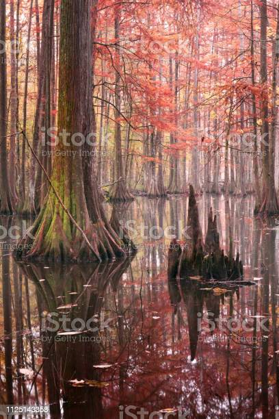 Photo of Beautiful bald cypress trees in autumn rusty-colored foliage, their reflections in lake water. Chicot State Park, Louisiana, US