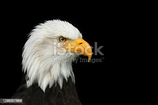 Portrait of a beautiful bald eagle, the national bird of the United States, against a black background.