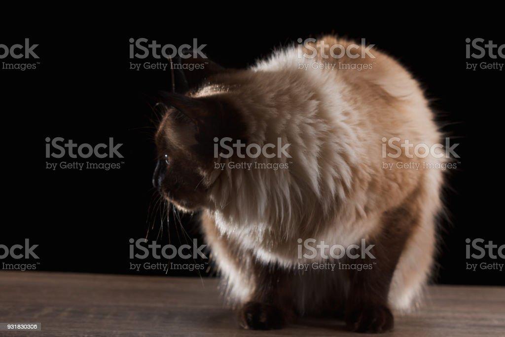 Beautiful Balinese Cat Isolated On Black Stock Photo