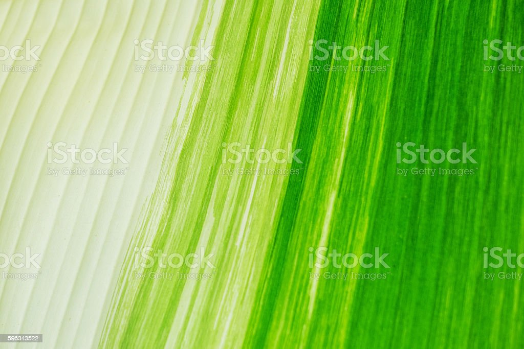 Beautiful banana leaves as background royalty-free stock photo