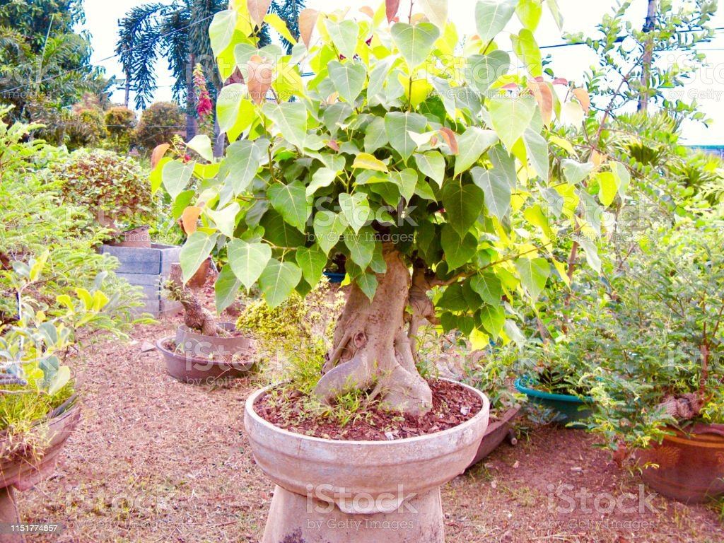 Beautiful Banyan Or Sacred Fig Bonsai In A Pot Stock Photo Download Image Now Istock