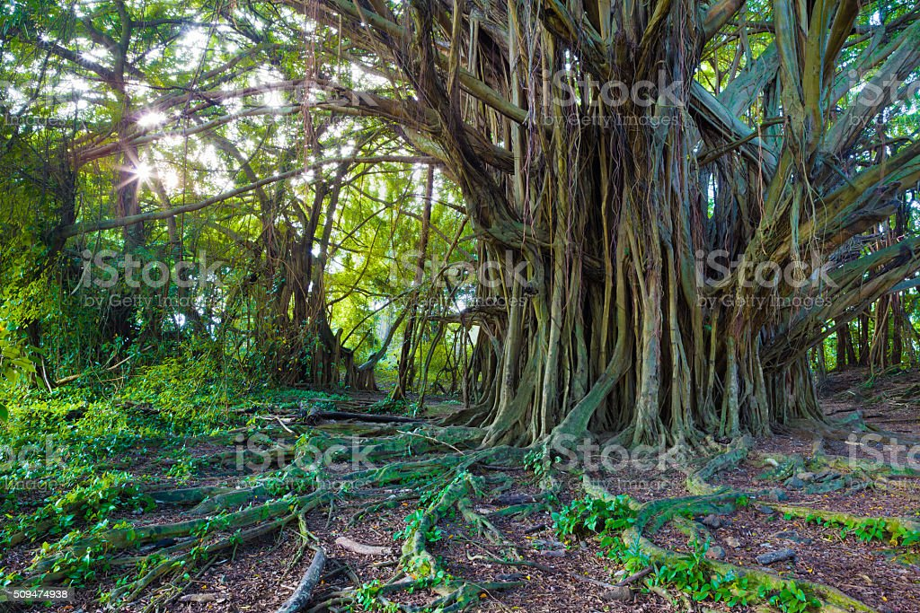 Beautiful banyan tree stock photo