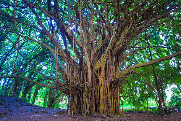 Beautiful banyan tree stock photo