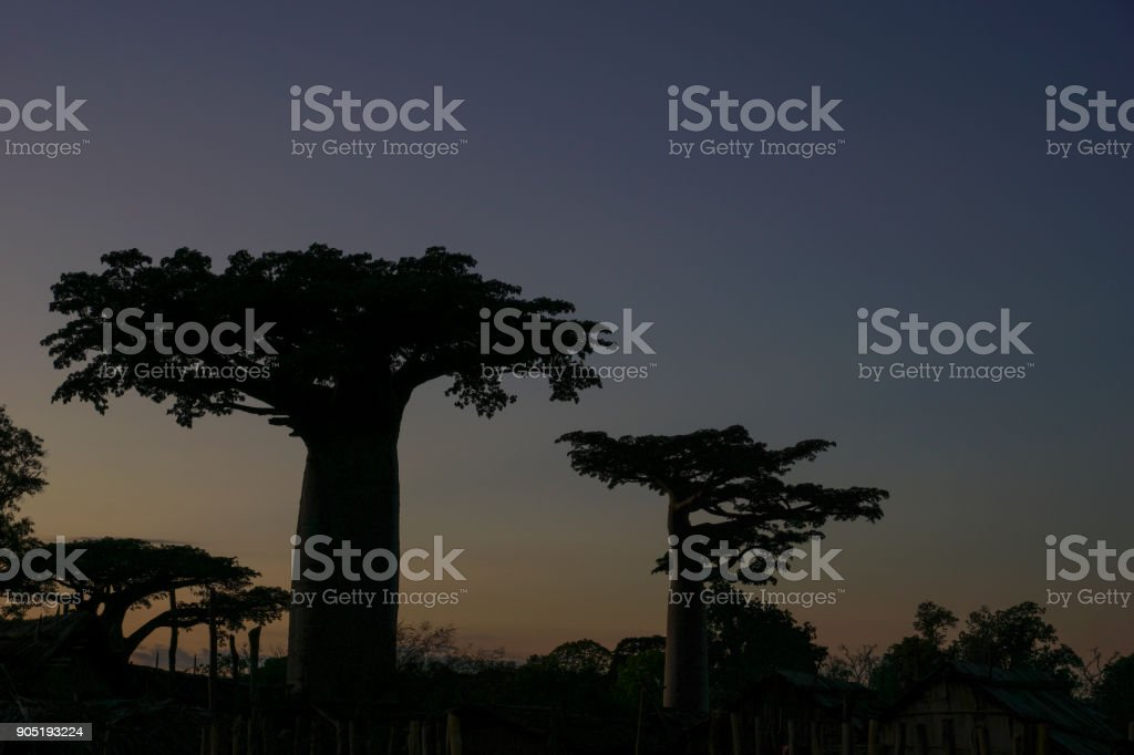 Beautiful Baobab Trees on the African Island of Madagascar stock photo