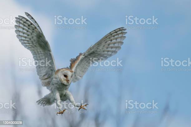 Beautiful barn owl in flight before attack with open wings clean and picture id1204000028?b=1&k=6&m=1204000028&s=612x612&h=1zcmqbedeujmu5mcyxi8hrpsusabasfvoeloojjubv8=