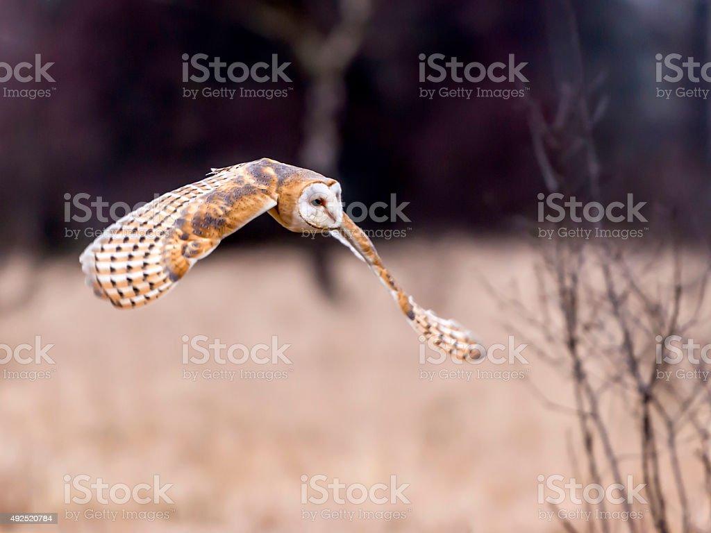 Beautiful Barn Owl, [Tyto Alba] in full flight stock photo