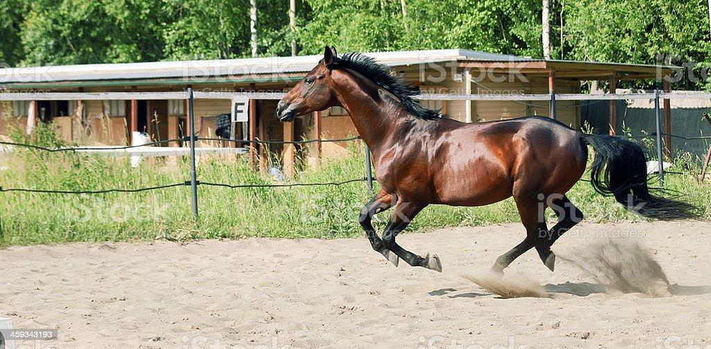 beautiful bay horse at galop stock photo