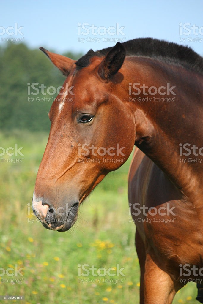 Beautiful bay horse portrait in summer stock photo