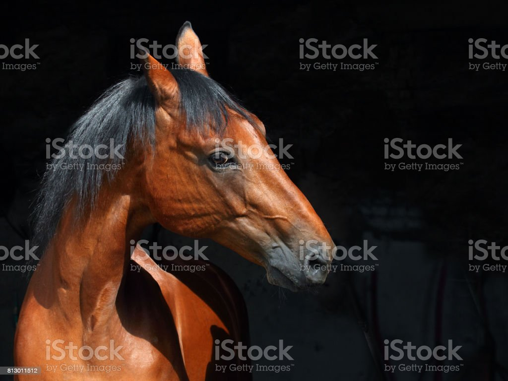 Beautiful Bay Horse Portrait On Black Background Stock Photo Download Image Now Istock