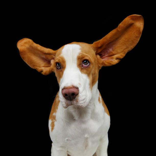 beautiful beagle dog – zdjęcie